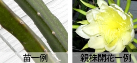 Naehimosankakuchumh01
